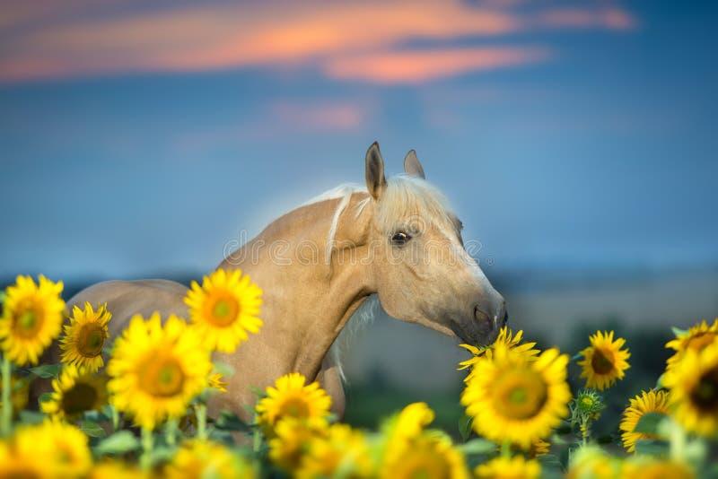 Piękny koń w słonecznikach zdjęcia royalty free