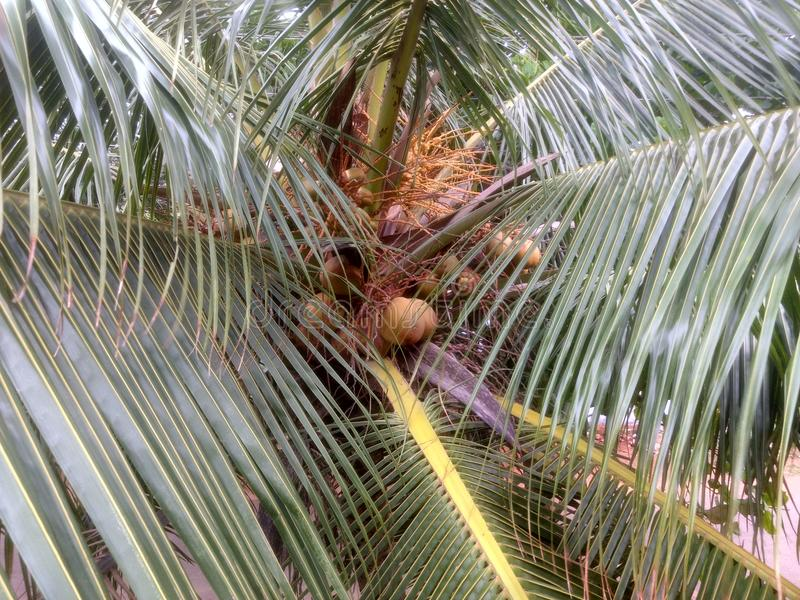 Piękny kokosowy drzewny widok obraz royalty free