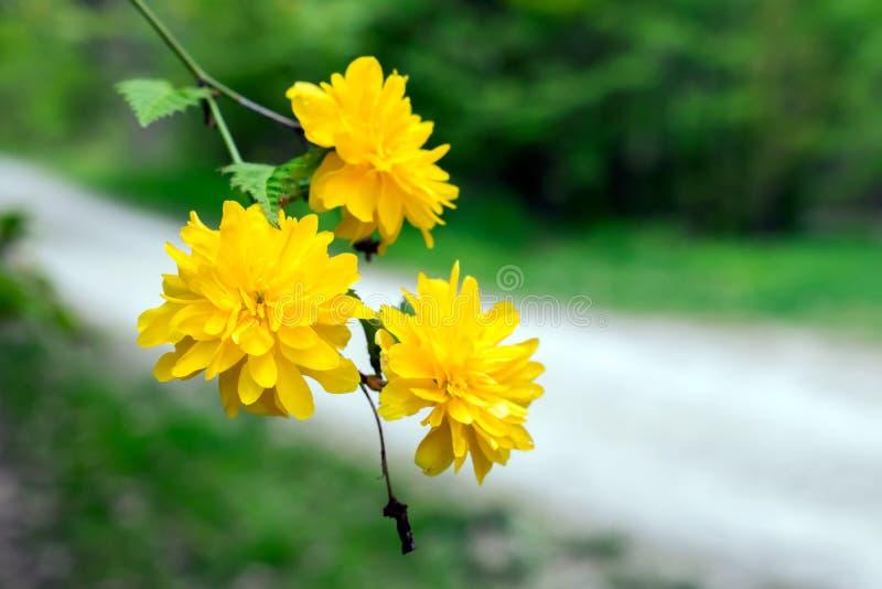 Piękny kolor żółty kwitnie na gałąź zdjęcie stock
