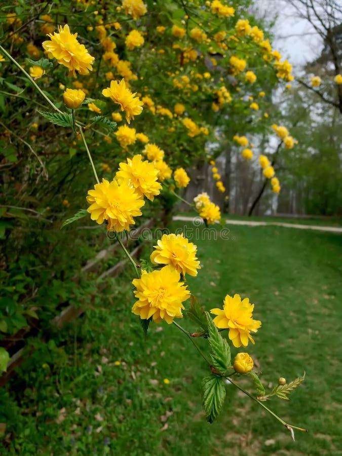 Piękny kolor żółty kwitnie na gałąź obraz stock