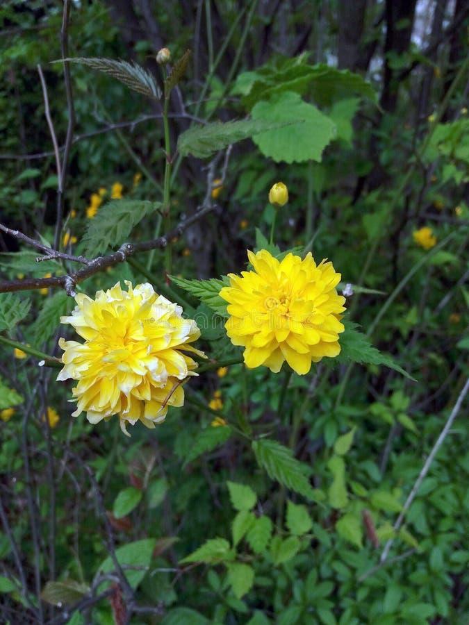 Piękny kolor żółty kwitnie na ogródzie obrazy royalty free