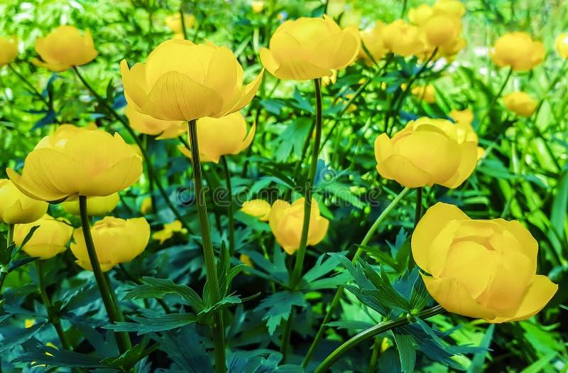 Piękny kolor żółty kwitnie Trollius asiaticus na flowerbed w gar fotografia stock
