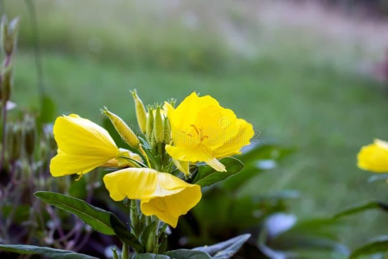 Piękny kolor żółty kwitnie w ogródzie fotografia royalty free
