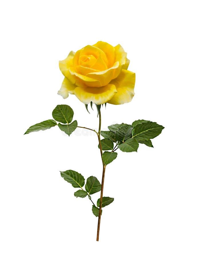 Piękny kolor żółty malujący wzrastał z liśćmi obrazy royalty free