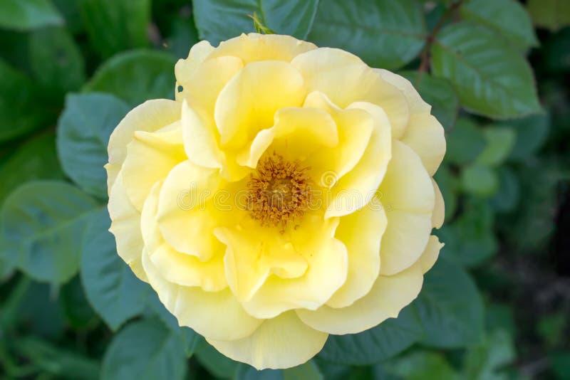 Piękny kolor żółty róży kwiat w ogródzie fotografia royalty free