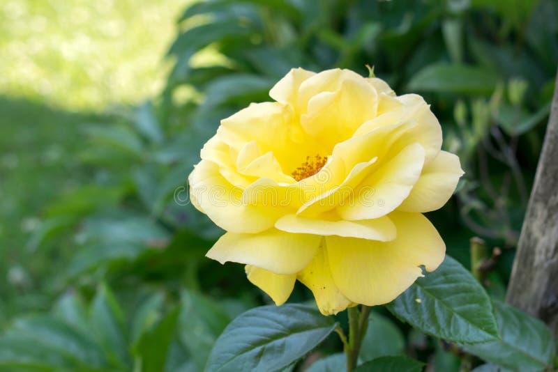 Piękny kolor żółty róży kwiat w ogródzie obraz royalty free