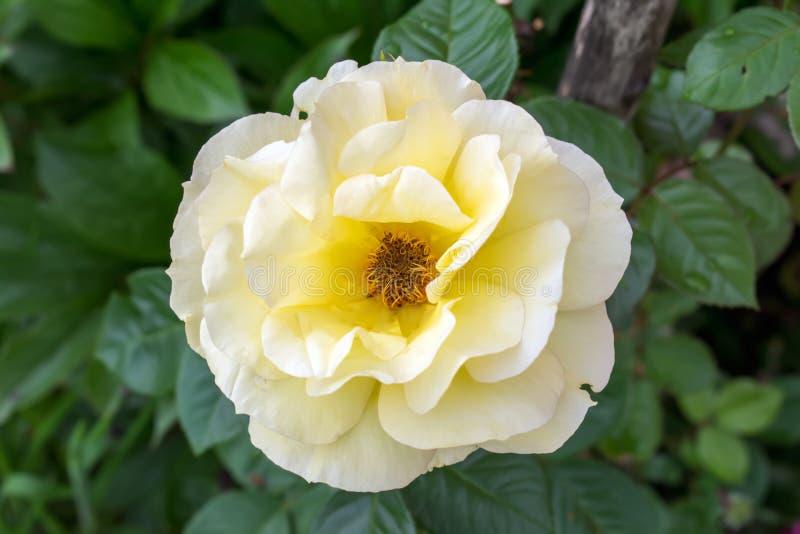 Piękny kolor żółty róży kwiat w ogródzie obrazy stock