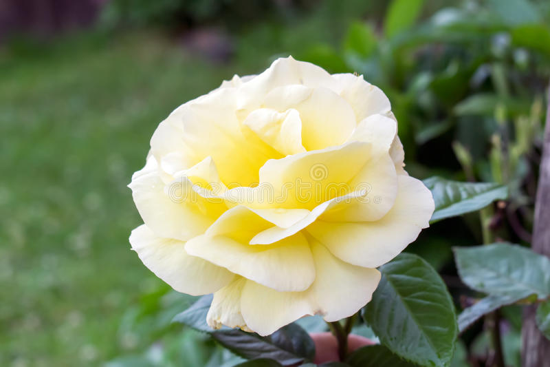 Piękny kolor żółty róży kwiat w ogródzie zdjęcie royalty free