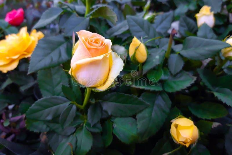 Piękny kolor żółty róży zakończenie up zdjęcia stock