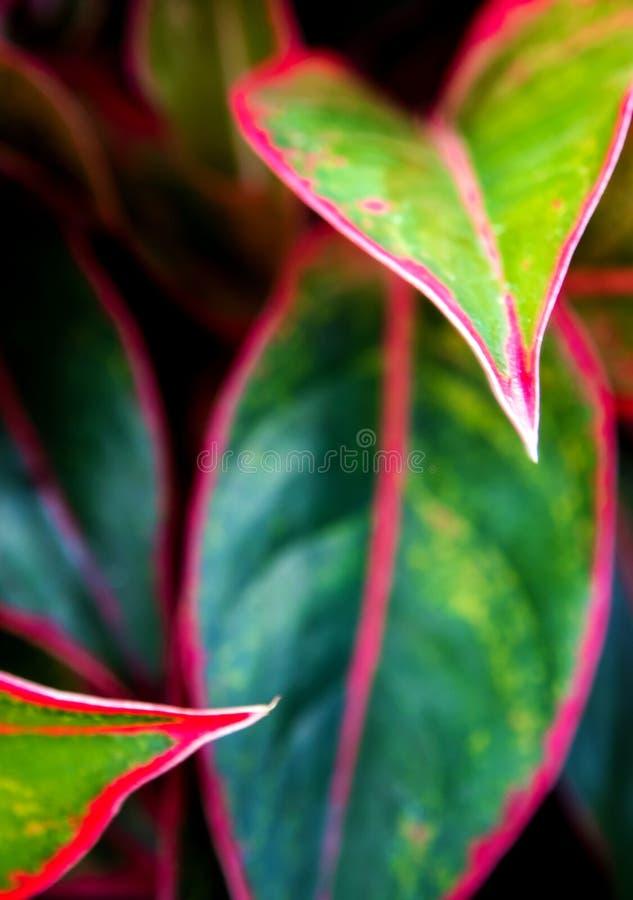 Piękny kolor na liściu Aglaonema & x27; Siam zorza & x27; tropikalny hou zdjęcia stock
