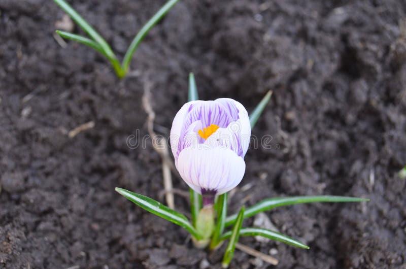 Piękny kolorowy biel, purpura obrazy royalty free