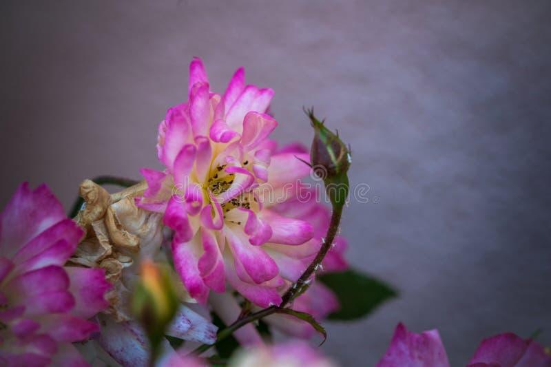 Piękny, kolorowy, delikatny róża kwiat z zamazanym tłem w ogródzie, zdjęcie stock