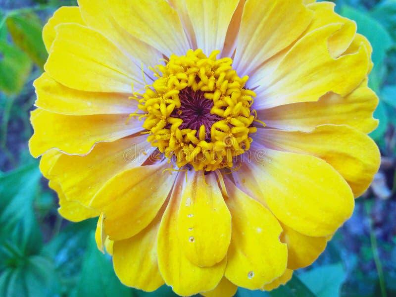 Piękny kolorowy kwiat w zakończeniu fotografia royalty free
