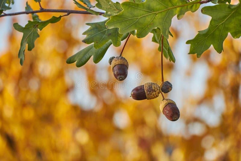 Piękny kolorowy zbliżenie acorn dorośnięcie na dębowym drzewie z pomarańczowym Październikiem opuszcza w tle zdjęcia royalty free