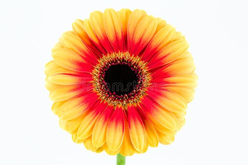 Piękny koloru żółtego i czerwieni gerbera kwiat odizolowywający na białym backgr zdjęcia royalty free