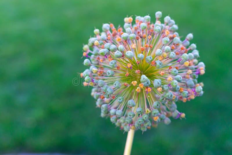 Piękny koloru Allium kwiat na zielonym tle fotografia royalty free