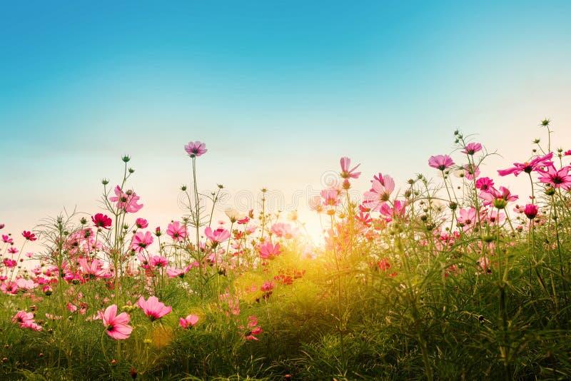 Piękny kosmos kwitnie w ogrodowym tle fotografia stock