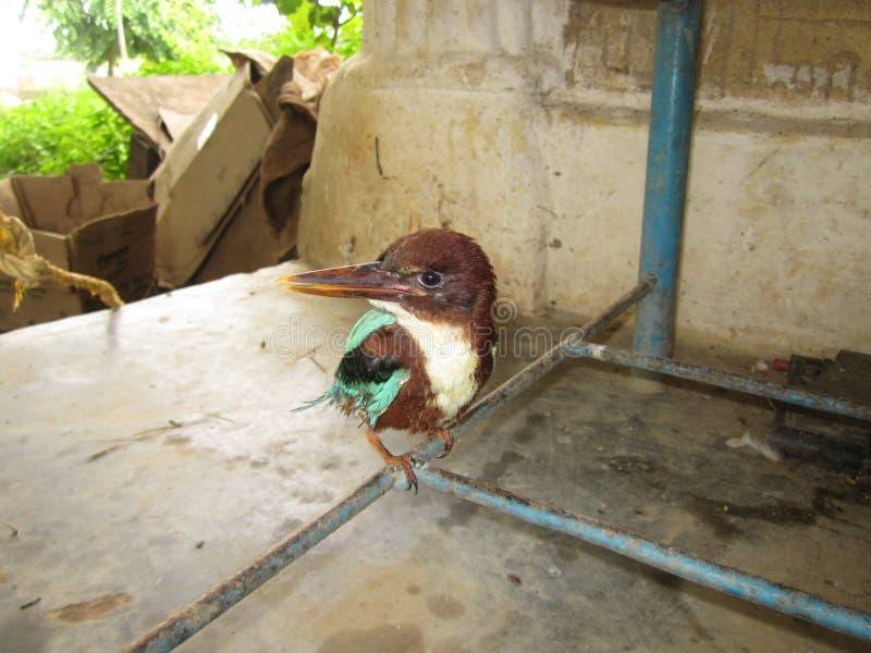 PIĘKNY królewiątka FISHER ptak zdjęcia royalty free