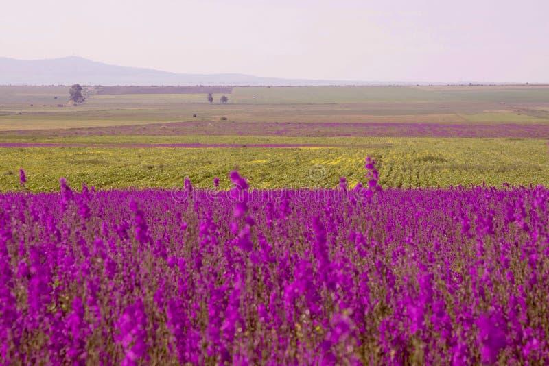 Piękny krajobraz niekończący się pole z purpura kwiatami i zielona trawa na tło górach, obraz royalty free
