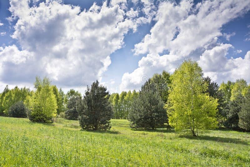 Piękny krajobraz z brzozami i bielem chmurnieje na niebieskim niebie zdjęcia stock