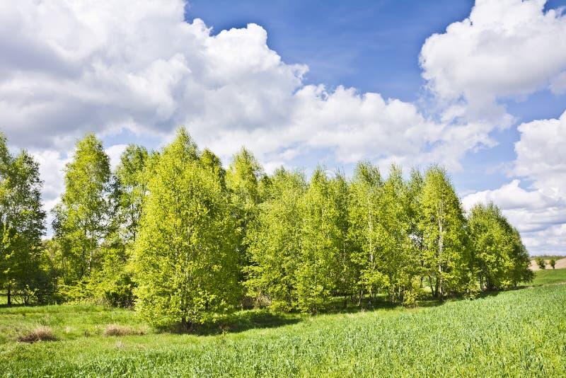 Piękny krajobraz z brzozami i bielem chmurnieje na niebieskim niebie obrazy stock