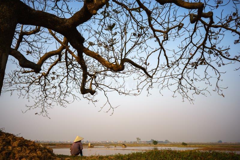 Piękny krajobraz z drzewo sylwetką przy zmierzchem z Wietnamskim kobieta rolnikiem siedzi pod drzewnym widzii ryżu polem zdjęcie stock