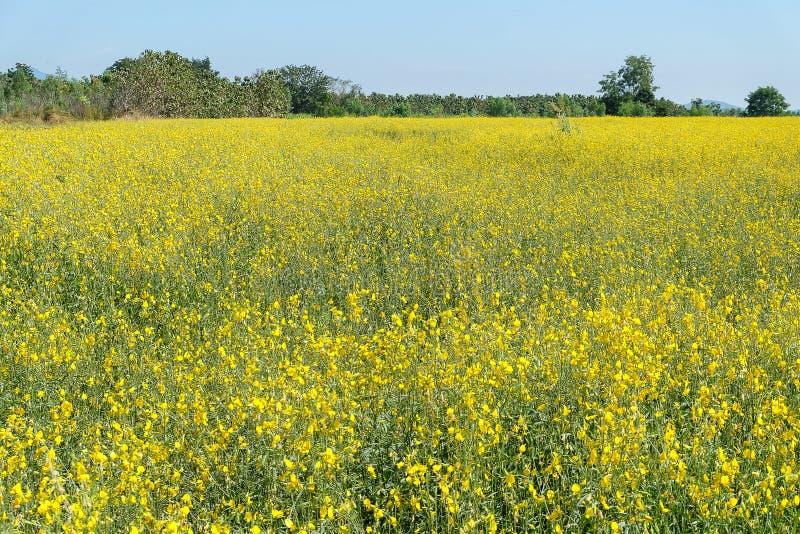 Piękny krajobrazowy żółty kwiatu pole znać jako sunn konopie, Ind fotografia stock