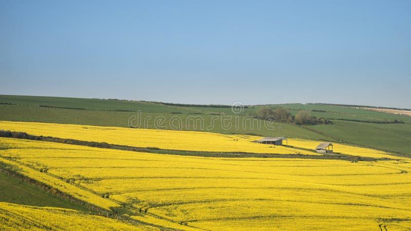 Piękny krajobrazowy wizerunek dojrzała rapeseed canola uprawa w wiośnie zdjęcia royalty free