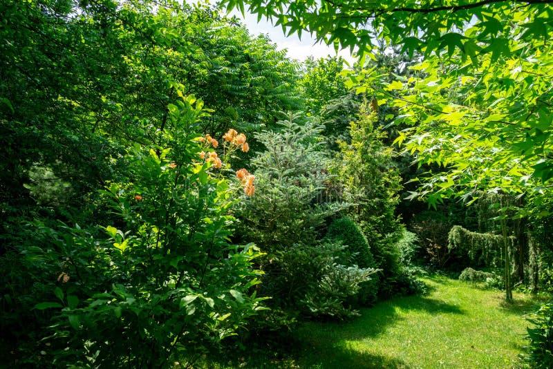 Piękny kształtujący teren ogród z evergreens i kwitnącymi róża krzakami Wiele Magnoliowy Susan i zdjęcie stock