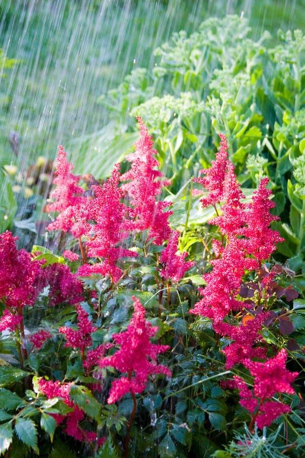 piękny kwiatów menchii deszcz fotografia royalty free