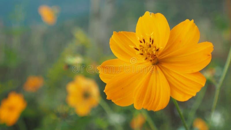 piękny kwiat żółty zdjęcie stock