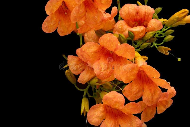 Piękny kwiat Chiński Tubowy winograd obrazy stock
