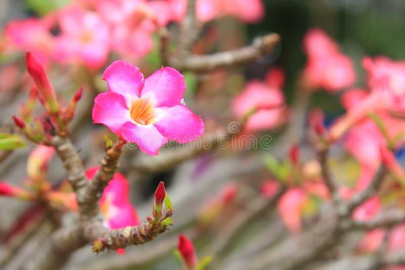 Piękny kwiat dla valentine świątecznego, zamyka w górę wiele różowych azalia kwiatów kwitnie w ogrodowym podwórku ilustracja wektor
