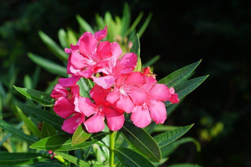 Piękny kwiat - menchia zdjęcia royalty free