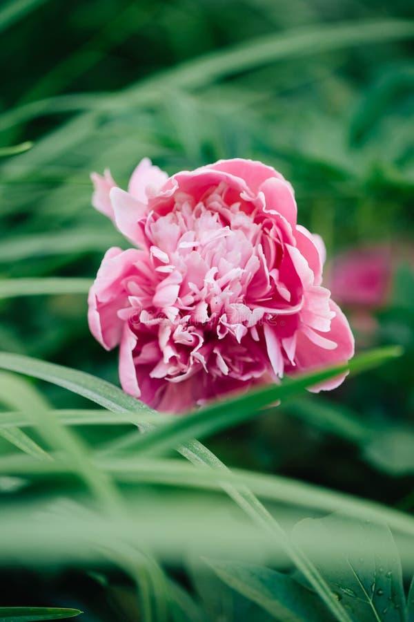 Piękny kwiat różowa peonia na zielonym natury tle Makro- krótkopęd zdjęcia stock