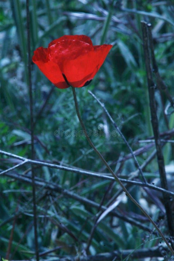 Piękny kwiat w świrzepach obrazy royalty free