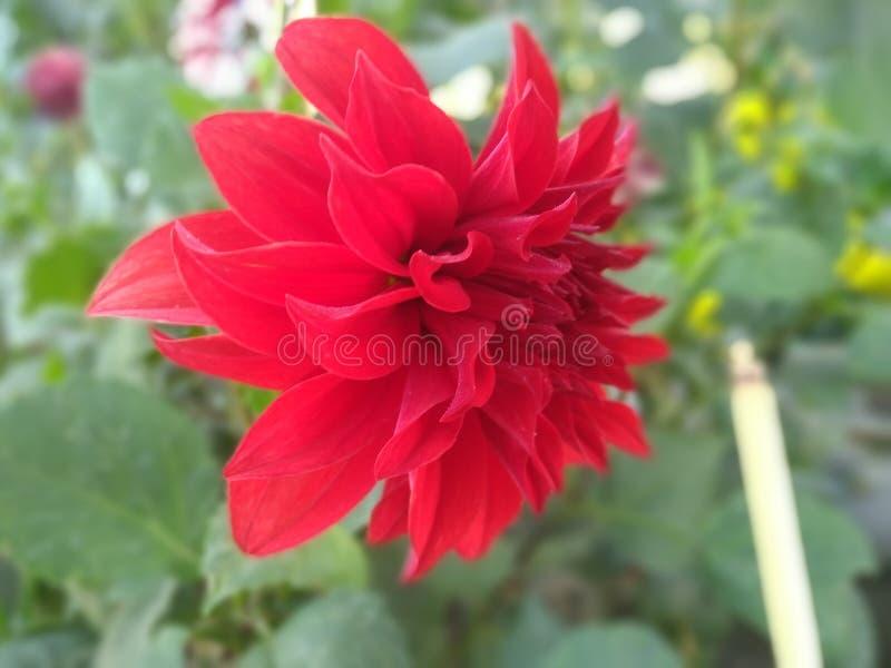 Piękny kwiat w czerwonym kolorze obrazy royalty free