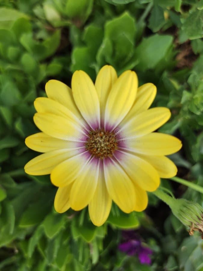 Piękny kwiat w jaskrawych kolorach i wyśmienicie odoru Flor amarilla obraz royalty free