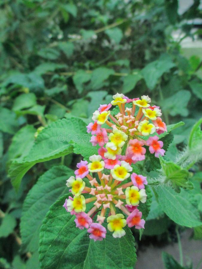 PIĘKNY kwiat W kolorze żółtym I menchiach zdjęcie royalty free