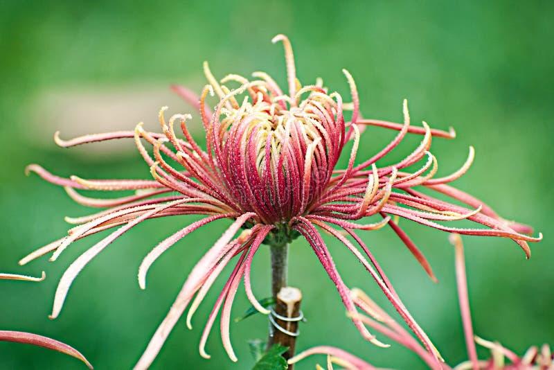 Piękny kwiat w kwiacie. obrazy royalty free