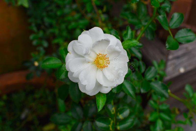 Piękny kwiat w ogródzie fotografia stock