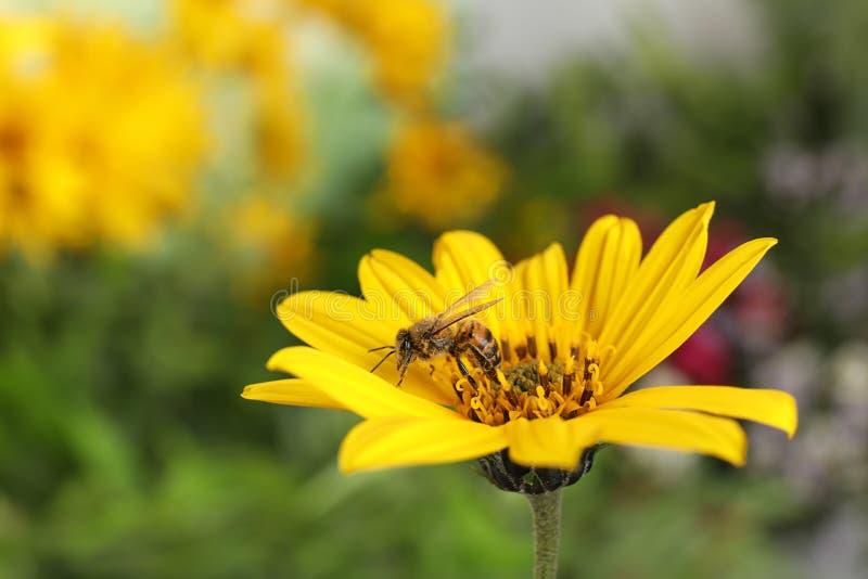 Piękny kwiat z honeybee zdjęcie royalty free