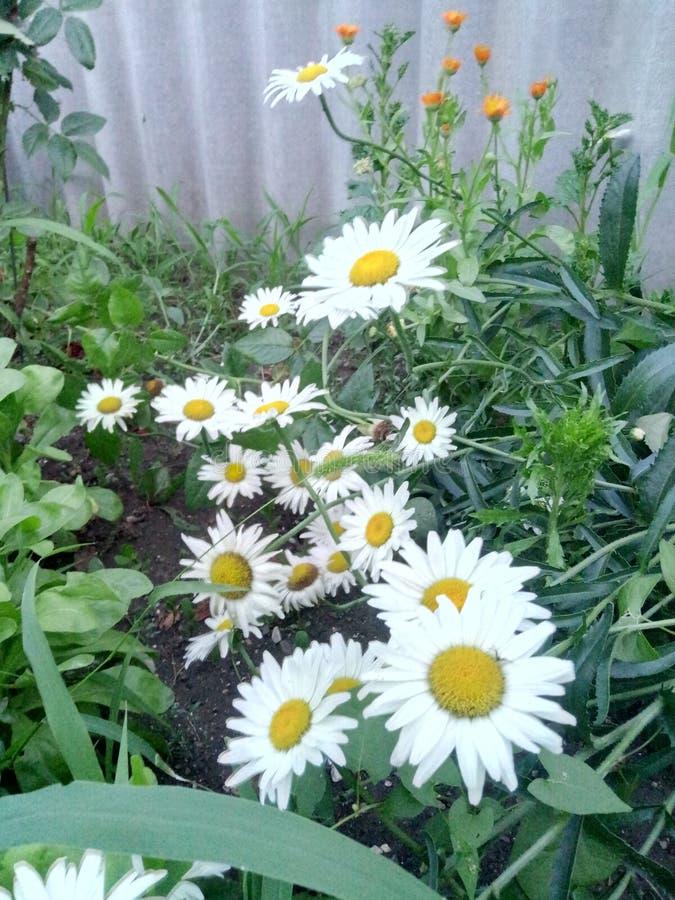 Piękny kwiatu Chamomile obrazy royalty free