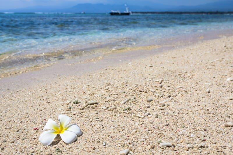 Piękny kwiatu frangipani zdjęcia stock
