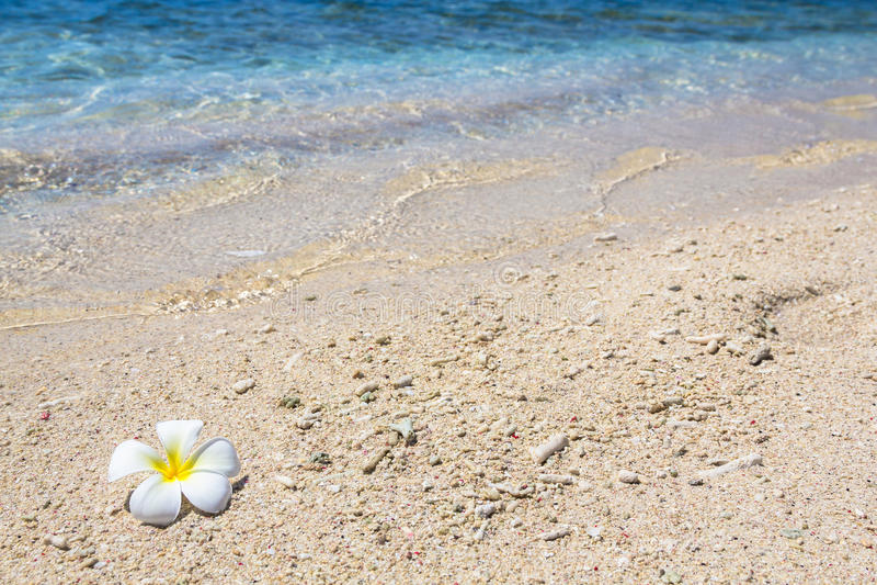 Piękny kwiatu frangipani fotografia stock