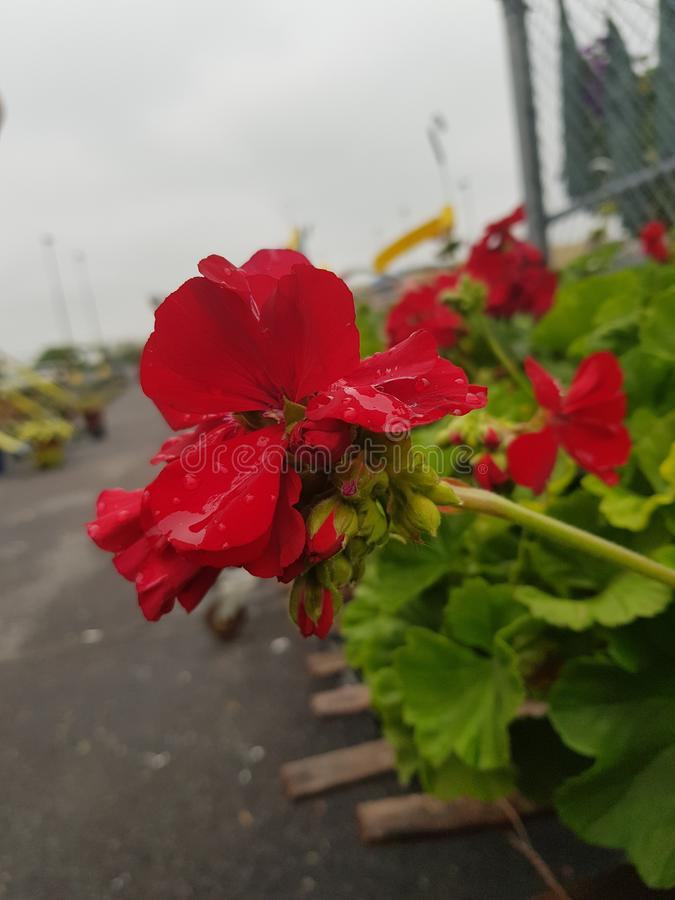 Piękny kwiatu raj obraz stock