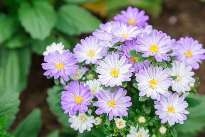 Piękny kwiatu, zieleń liścia tło w kwiatu ogródzie przy pogodnym dniem i fotografia royalty free