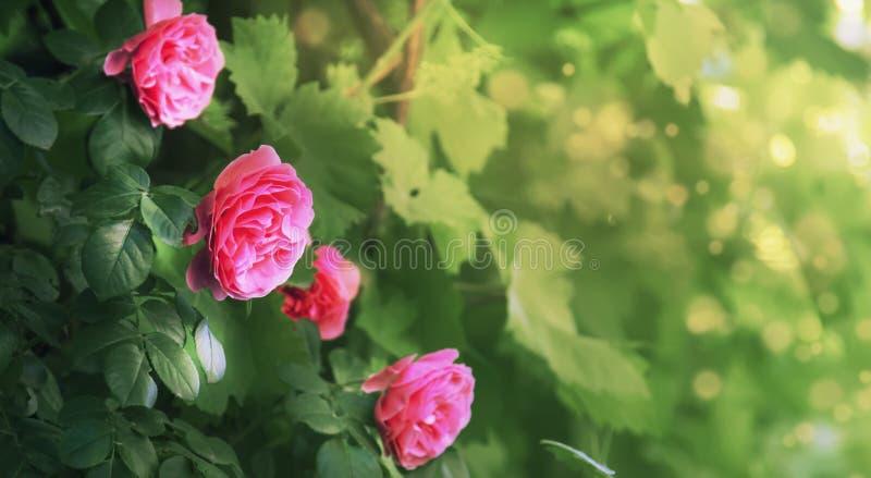 Piękny kwiecisty lata lub wiosny naturalny tło z okwitnięcie menchii różami, kopii przestrzeń, granica, selekcyjna miękka ostrość obrazy stock