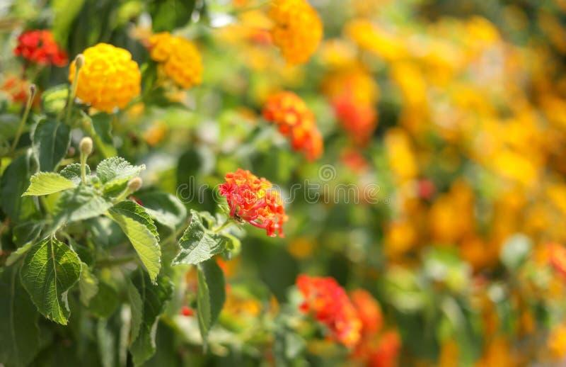 Piękny kwiecisty tło flowerbed pomarańcze nagietki obrazy royalty free