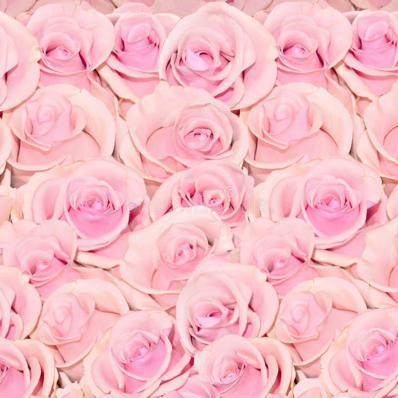 Piękny kwiecisty tło z zadziwiać białe róże z żółtym odcieniem fotografia royalty free